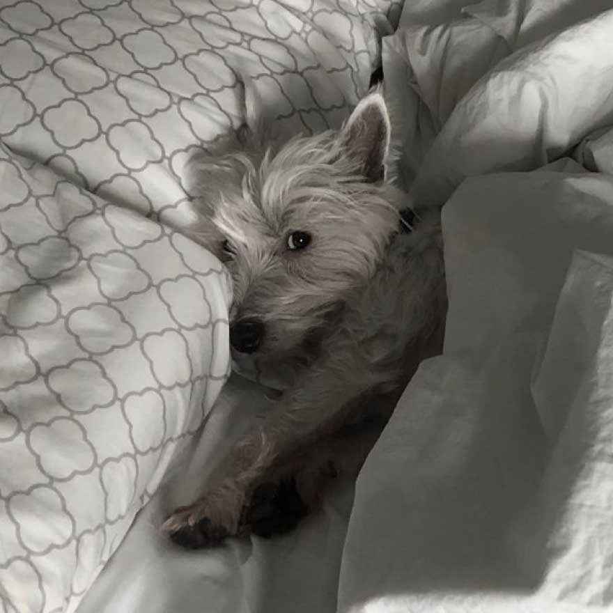 Adorable Westie dog named Winnie in bed
