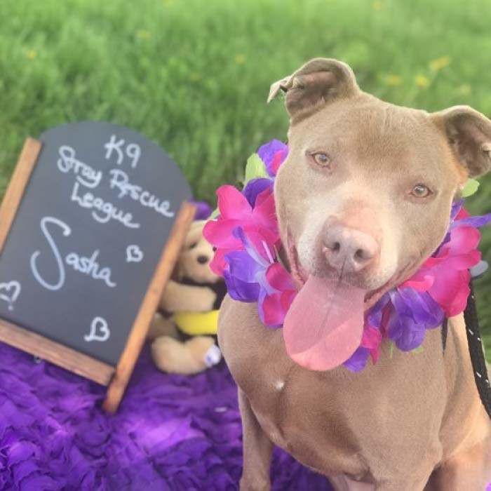 K9 Rescue League Pet of the Week: Pit Bull Sasha